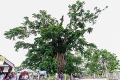 Millennium tree in baler. Philippines Stock Photo
