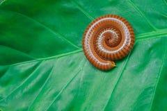 Millepiedi nella forma a spirale Fotografie Stock
