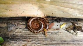 Millepiedi a spirale del cerchio Fotografia Stock
