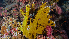 Millepora dichotoma. A fire coral that is actually a hydroid, not a coral, in the Red Sea Royalty Free Stock Image