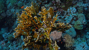 Millepora dichotoma. A fire coral that is actually a hydroid, not a coral, in the Red Sea Stock Photography