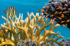 Millepora fire coral Stock Images