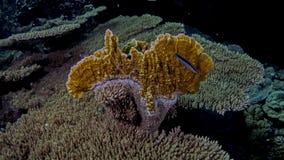 Millepora platyphylla Fotografie Stock