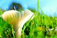 'The Miller' field mushroom Royalty Free Stock Photo