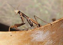 Miller Mantis Стоковые Изображения