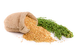 Millet in a bag with green spikelets isolated on white background. Food for parrots Royalty Free Stock Image