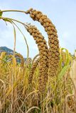 Millet. The close-up of mature millet in the autumn Stock Photo