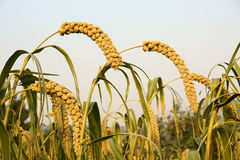 Millet ears. The close-up of millet ears royalty free stock images