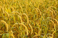 Millet ears. The background of millet ears stock photos