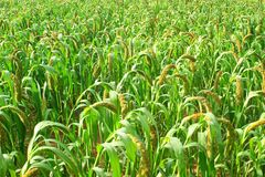 Millet ears. The background of millet ears Royalty Free Stock Photo