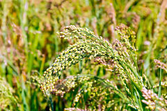 Millet ears of unripe Royalty Free Stock Photos