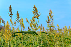 Millet field Royalty Free Stock Images