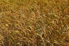 Millet field Stock Image