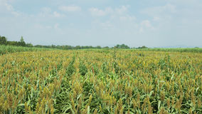 Millet field plantation. And monoculture Royalty Free Stock Image