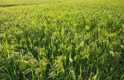 Millet field (sorghum). Millet field. Green field, agriculture landscape, field of millet (sorghum royalty free stock image