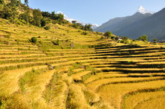 Millet fields in The Himalayas Stock Images
