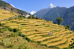Millet fields in The Himalayas Royalty Free Stock Photography