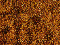 Millet grains texture. Millet grains sunlight background texture Royalty Free Stock Photography