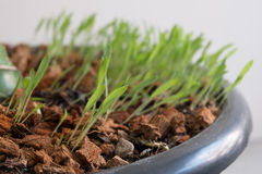 Millet grass. Sorghum grass in pots sprout Royalty Free Stock Image