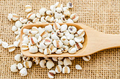 Millet rice in wooden spoon. Raw millet rice in wooden spoon on sack background royalty free stock images