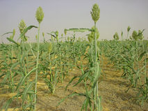 Millet in rows Royalty Free Stock Photography