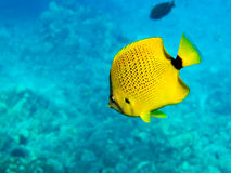 Millet seed Butterfly Fish Stock Photos