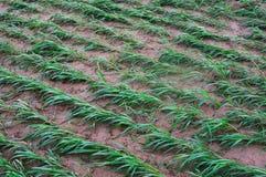 Millet seedlings Royalty Free Stock Photo