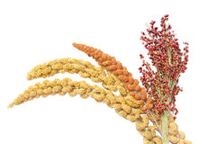 Millet and sorghum. Isolated on a white background Royalty Free Stock Images