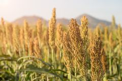Millet or Sorghum in field of feed for livestock. Millet or Sorghum an important cereal crop in field, Sorghum a widely cultivated cereal native to warm regions Stock Image