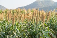 Millet or Sorghum in field of feed for livestock. Millet or Sorghum an important cereal crop in field, Sorghum a widely cultivated cereal native to warm regions stock photography