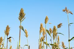 Sorghum in field of feed for livestock Stock Images