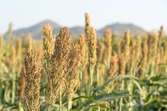 Millet or Sorghum in field of feed for livestock. Millet or Sorghum an important cereal crop in field, Sorghum a widely cultivated cereal native to warm regions Royalty Free Stock Photography