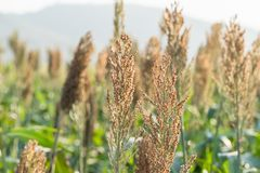 Millet or Sorghum in field of feed for livestock. Millet or Sorghum an important cereal crop in field, Sorghum a widely cultivated cereal native to warm regions Stock Images