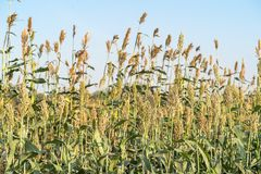 Millet or Sorghum in field of feed for livestock. Millet or Sorghum an important cereal crop in field, Sorghum a widely cultivated cereal native to warm regions royalty free stock images