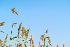 Sorghum in field of feed for livestock. Millet or Sorghum an important cereal crop in field, Sorghum a widely cultivated cereal native to warm regions. It is a Stock Images