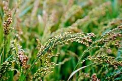 Millet stalks green Stock Images