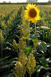 Millet and sunflower. Sunflower in sorghum small millet field with colorful ears for bio fuel research Royalty Free Stock Photo