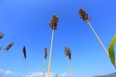 Millet. Tree with blue sky stock photo