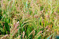 Millet unripe ears in the field Stock Images