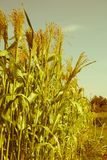 Millet is used as food. belongs to the genus Sorghum. Millet is used as food, fodder and for producing alcoholic beverages. India is largest producer of millet Stock Image