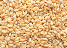 Millet wheat Royalty Free Stock Photography