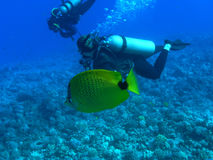 Milletseed Butterflyfish. Butterflyfish at Molokini Crater, Maui stock photos