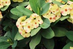Milli молочая, красивый цвет цветка зацветая в саде Стоковое фото RF