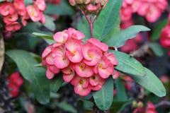 Milli Desmoul Euphorbia Стоковые Изображения