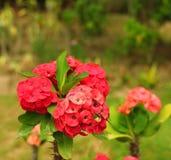 Milli e fiore dell'euforbia Fotografia Stock Libera da Diritti