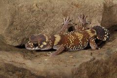 milli Spesso-munito di Underwoodisaurus del â del Gecko immagini stock