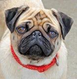 Millie a cara do pug Foto de Stock Royalty Free