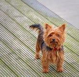 Millie de de terriërhond van Yorkshire Royalty-vrije Stock Foto's