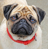 Millie the pug face Royalty Free Stock Photo