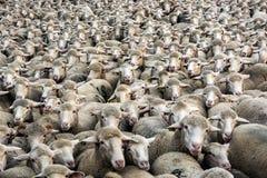 Milliers de moutons image stock
